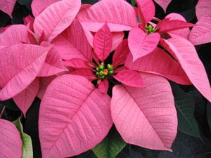 Розовые листья экзотического цветка