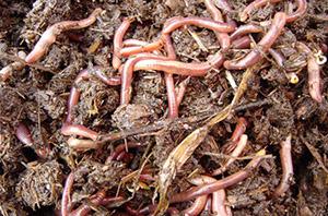 дождевые черви - корм для раков