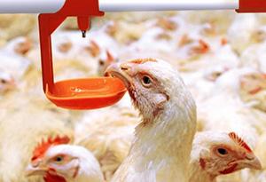 Кормление и содержание кур