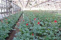 Тепличное хозяйство в сфере цветоводства