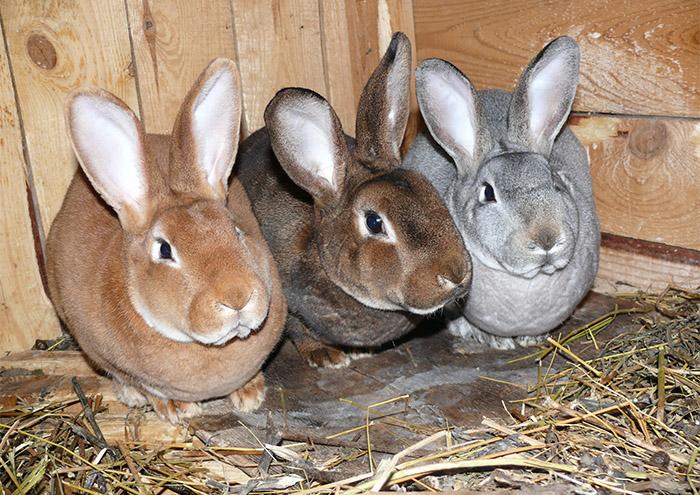 Кролики меховые Рекс