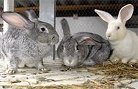 Бизнес по кролиководству