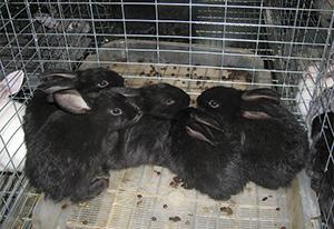 Доходность бизнеса на кролиководстве