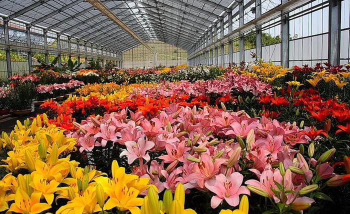 Выращивание цветов в тепличном хозяйстве