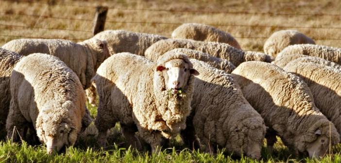 Овцеводческая ферма как бизнес
