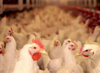 птицеводство как бизнес идея