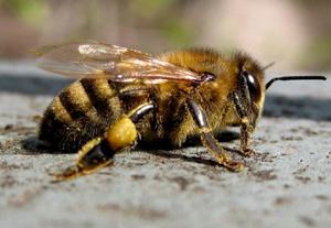 пчела карпатка для пасеки