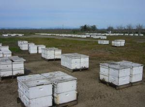 промышленные пасеки пчеловодства