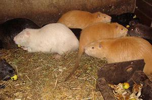 Помещение для водяных крыс