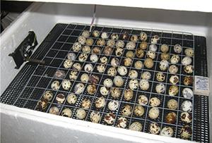 Инкубатор с яйцами
