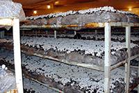 Выращивание шампиньонов в промышленных условиях