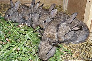 Молодые крольчата