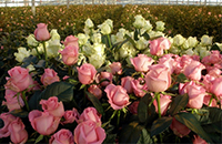 Тепличные розы